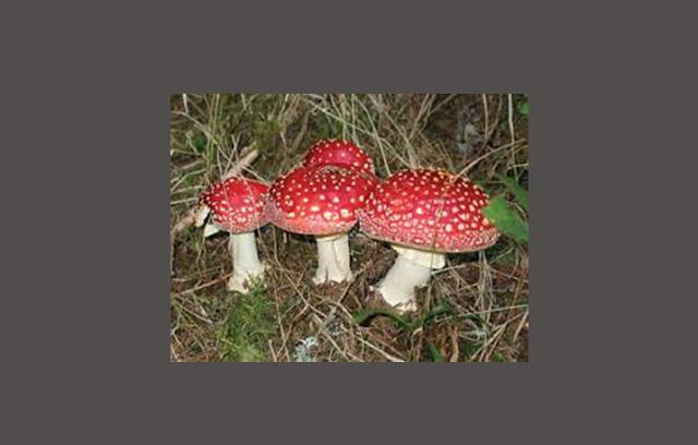 Pengertian dan Ciri Basidiomycota