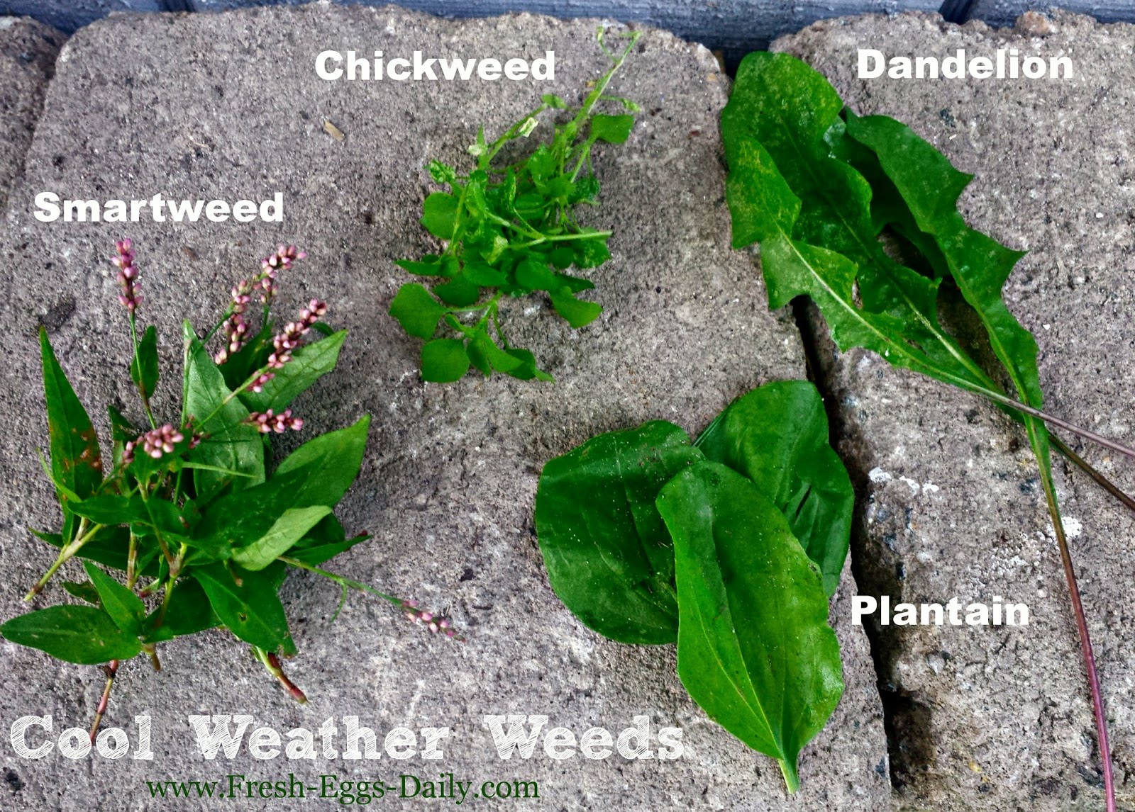 weeds 101 a nutritious free treat for your backyard chickens