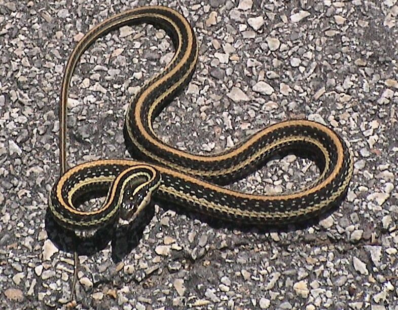 Labeling Nature 3 - Garter Snake