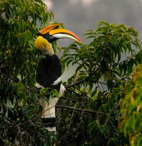 Indian birds - Picture of Great hornbill - Buceros bicornis