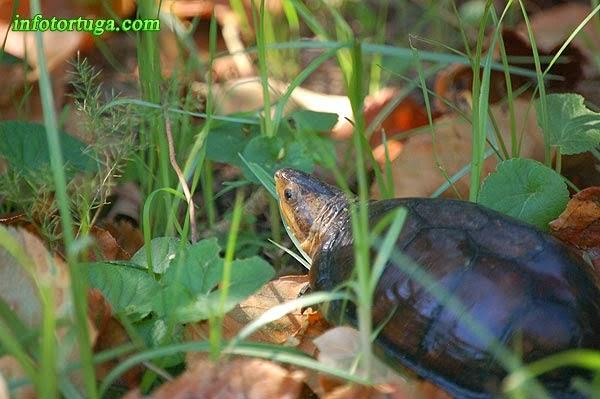 Kinosternon leucostomum - Tortuga del fango de boca blanca
