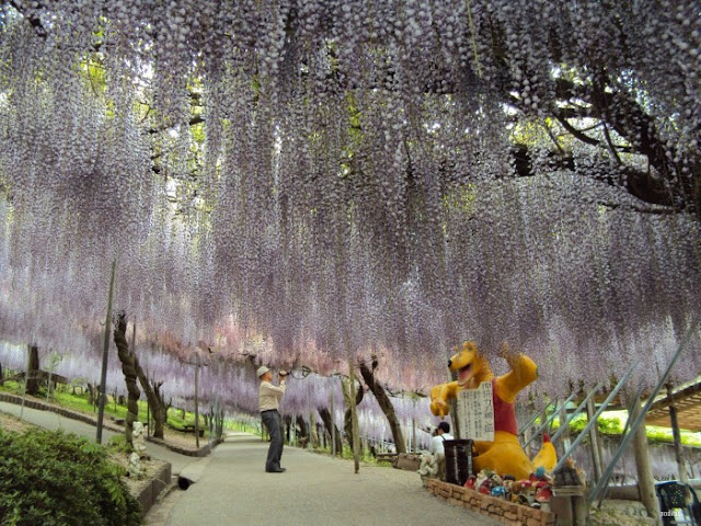 Jaw-Dropping Beauty In The Wisteria Tunnel
