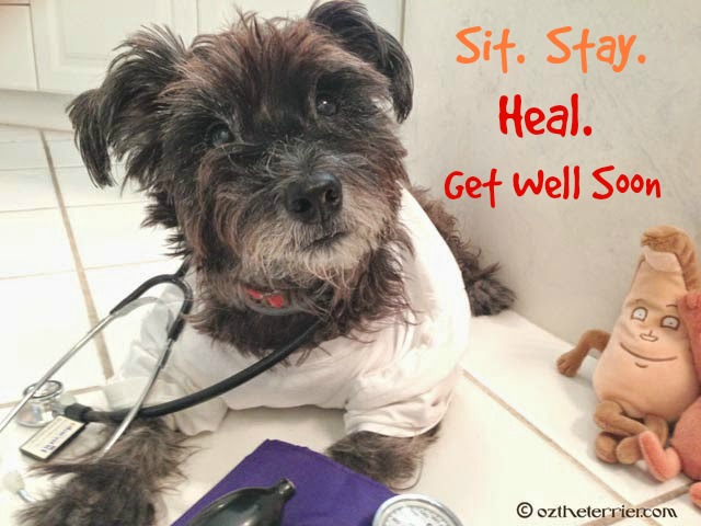 Dr. Oz the Terrier advice to Sit. Stay. Heal