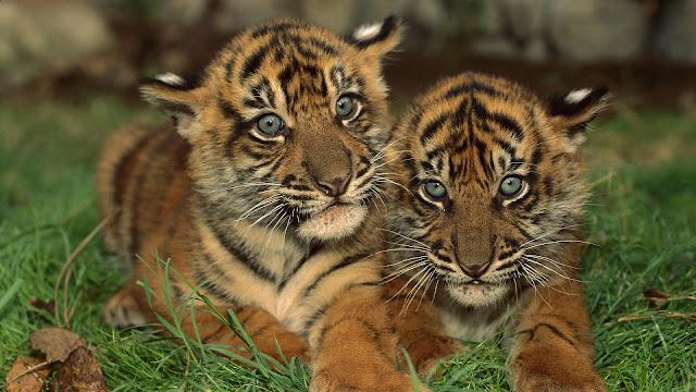 Tijger foto met twee jonge tijgers