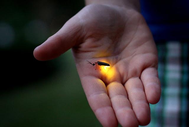 Malaysian Firelfy