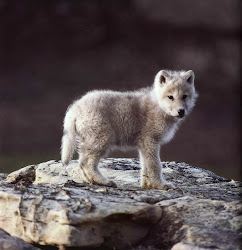 cute animals wolf puppy baby wolves pup adorable wolfs cub cutest arctic animal grey dog young filhote sweet wild habitat