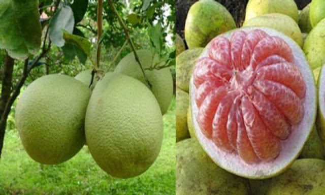 Manfaat Jeruk Bali (Jeruk Besar atau Pomelo) Bagi Kesehatan (For Health)