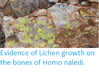 https://sciencythoughts.blogspot.com/2016/09/evidence-of-lichen-growth-on-bones-of.html