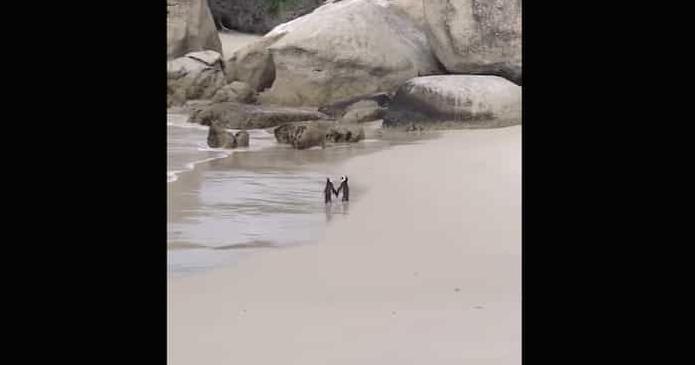 Coppia romantica di pinguini innamorati si tengono per mano su una spiaggia