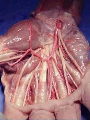 عضلات-وأعصاب-وشرايين-اليد