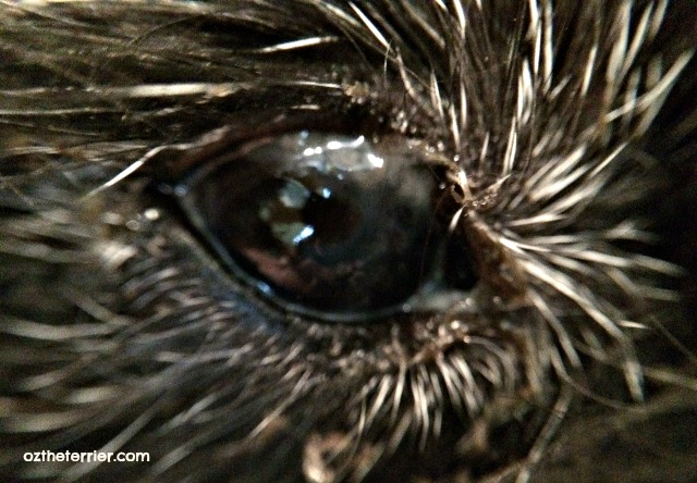 Dry Eye in Dogs - Oz's eye with Dry Eye