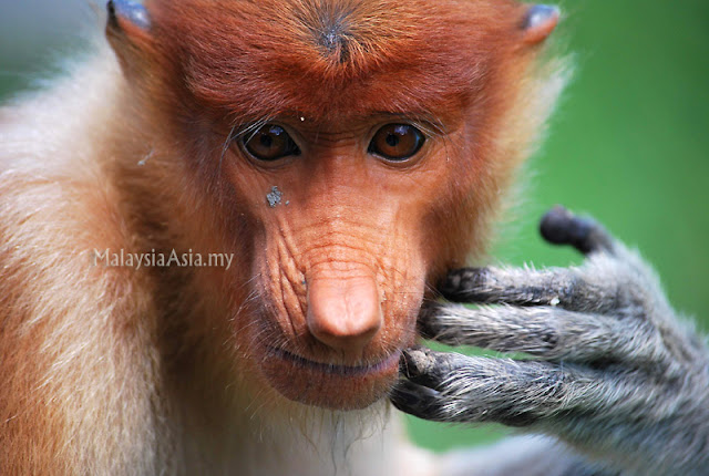 Proboscis Monkey Photography