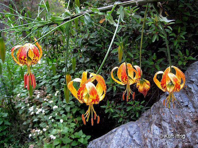 These beautiful Humboldt Lilies are rarely seen, expect in areas where people don't go.