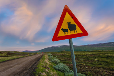 Iceland road sign warning about sheep