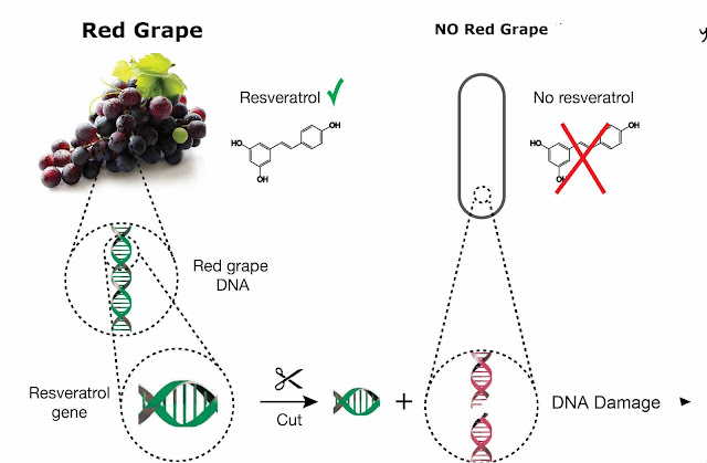 Resveratrol effect Repair DNA Fregment