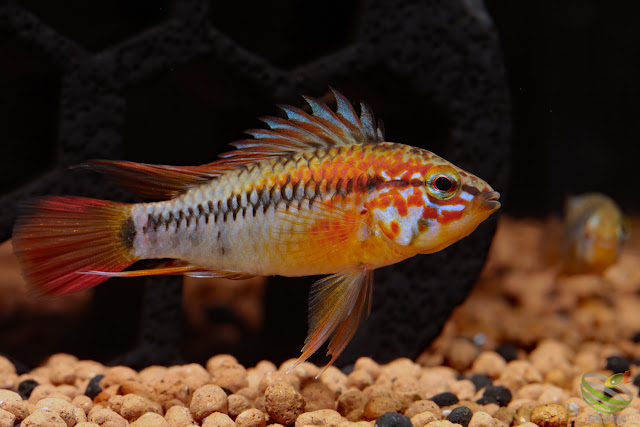 Apistogramma macmasteri super red / Wilhelm breed