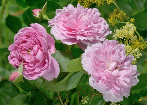 Harlow Carr роза сорт