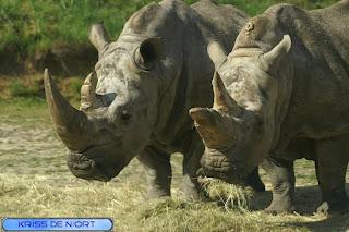 Rhinocéros blanc - Ceratotherium simum