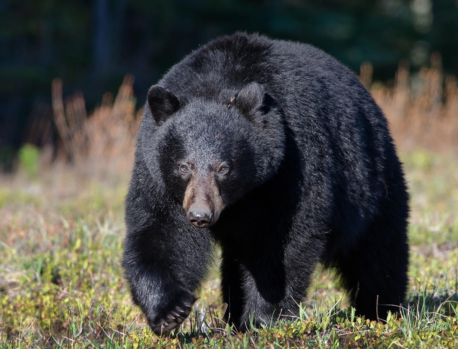 Imágenes De Animales En Hd Para Fondo De Pantalla: Fondo De Pantalla Animales Oso Negro Caminando