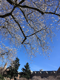 cherry blossoms, UW quad