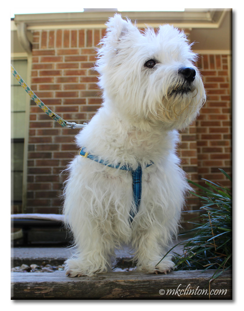 Pierre Westie modeling his new blue PrideBites Step In harness
