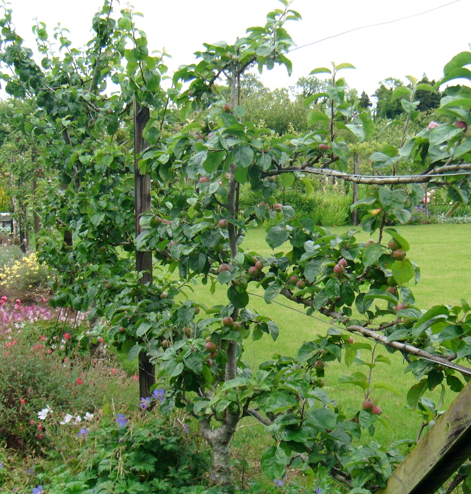 Growing espalier trees resilience for Fruit trees