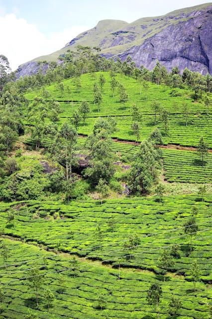 Tea gardens, munnar, view, greenery