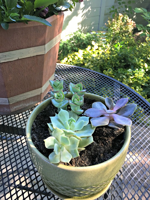 green and purple succulent, rose succulent