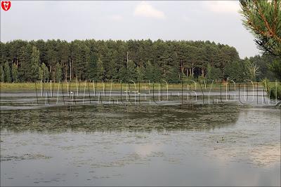 Ляховичское водохранилище у деревни Набережная. Лебединая стая