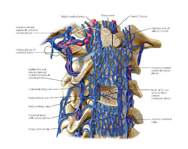 Vertebral Veins: Detail Showing Venous Communications Anatomy