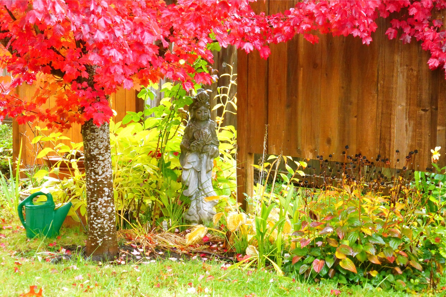 autumn garden, autumn maple, red leaved maple, quan yin