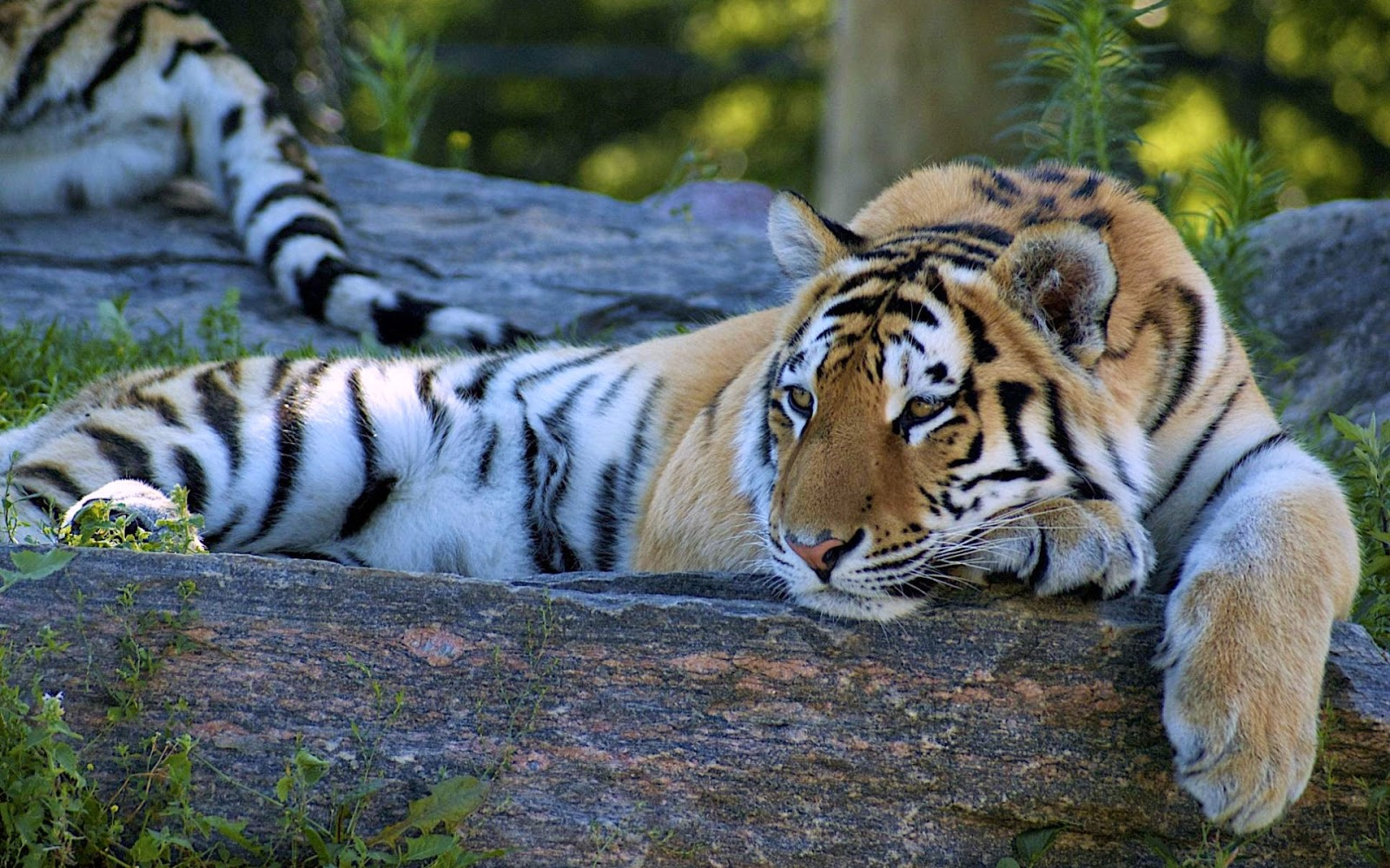 3d Holi Wallpapers Free Download Lovable Images Wild Tiger Hd Wallpapers Free Download