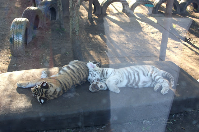 белый тигр, зоопарк в Клайпеде, Клайпедский зоопарк