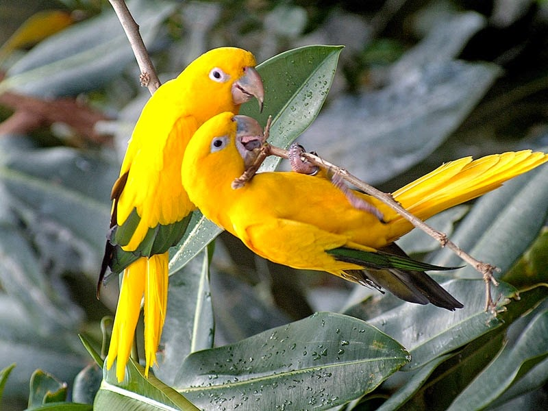 A Beautiful Yellow Parrot pair Most Beautiful Bird in The World. Download Free Animals & Birds Wallpapers For Your Computer Desktops in Normal,Widescreen,HDTV Resolutions