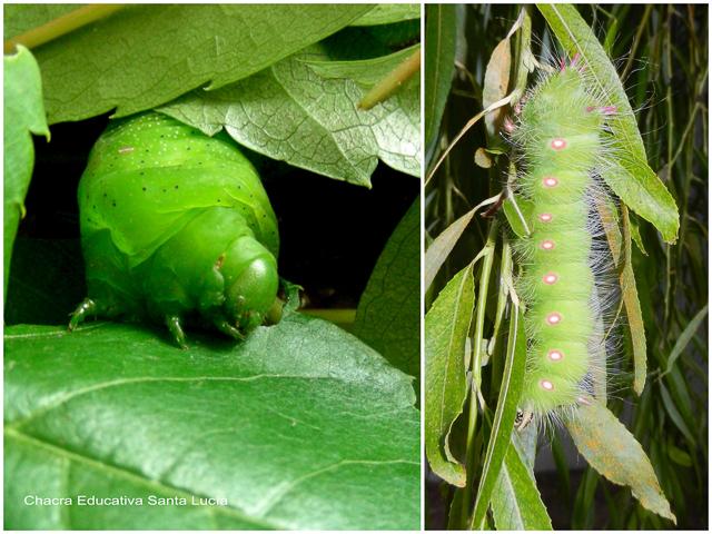 Orugas alimentándose de hojas verdes - Chacra Educativa Santa Lucía