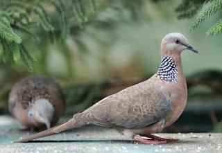 Burung Tekukur atau Dekukur