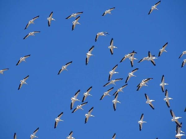 ( FOTOS ) Captan  Cientos De Pelicanos Desorientados En sonora Mexico.