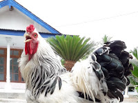 Harga Ayam Brahma Terbaru