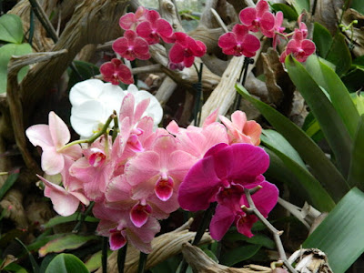 Phalaenopsis Moth Orchid hybrids at the Centennial Park Conservatory by garden muses-not another Toronto gardening blog
