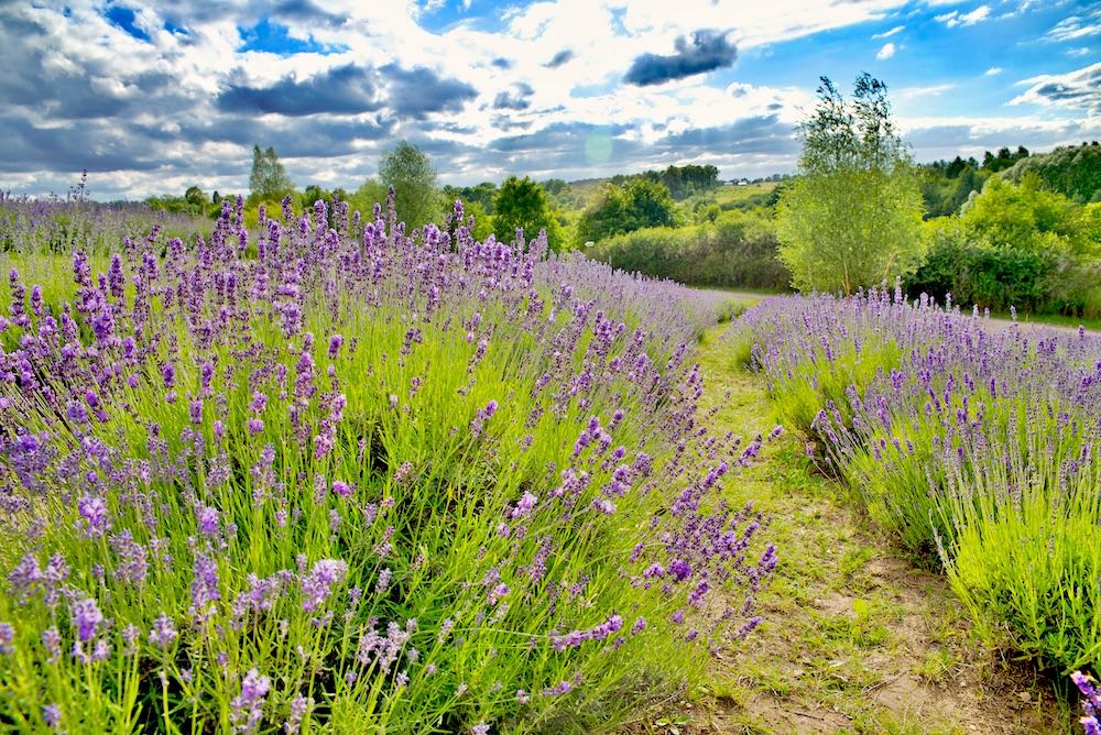 lawendowe pole Nowe Kawkowo, lawendowe pole, Warmia Mazury co zobaczyć, Warmia Mazury atrakcje turystyczne, Polska lawendowe pole