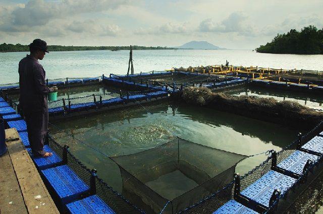 Budidaya Ikan Nila di Jaring Terapung