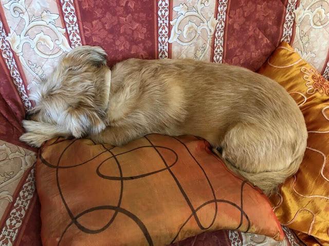 O nosso cãozinho Cookie