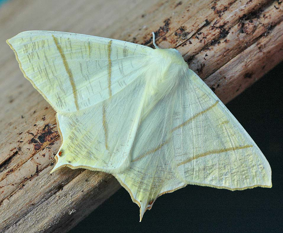 Swallow Tail Moth 17