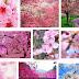 Bunga sakura Tidak Hanya Ada di Jepang