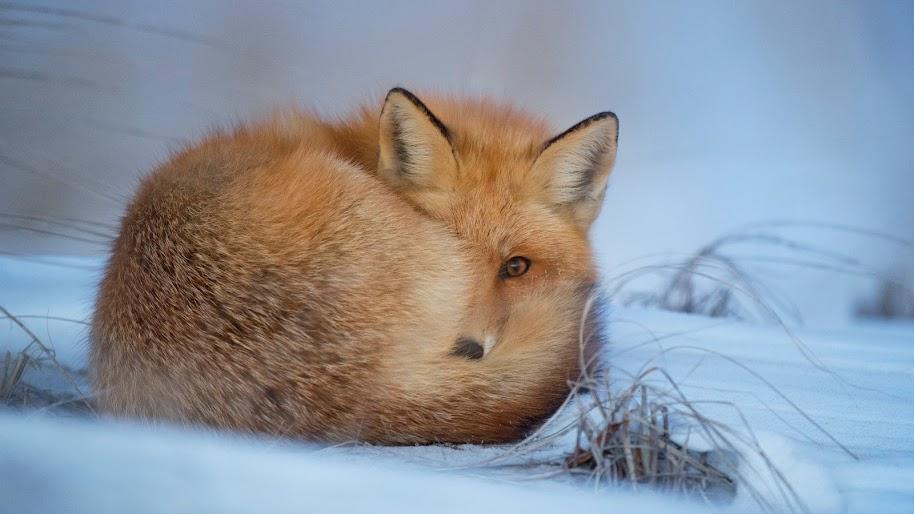 Red Fox, Snow, 4K, 3840x2160, #45