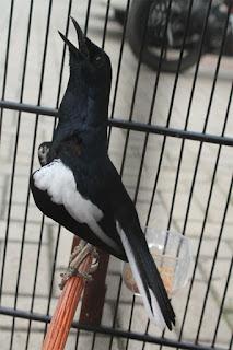 Penangkaran Burung Kacer - Masalah yang Timbul Pada Anakan Kacer Dan Gagal Menetas