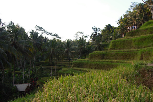 traditional rice field in indonesia