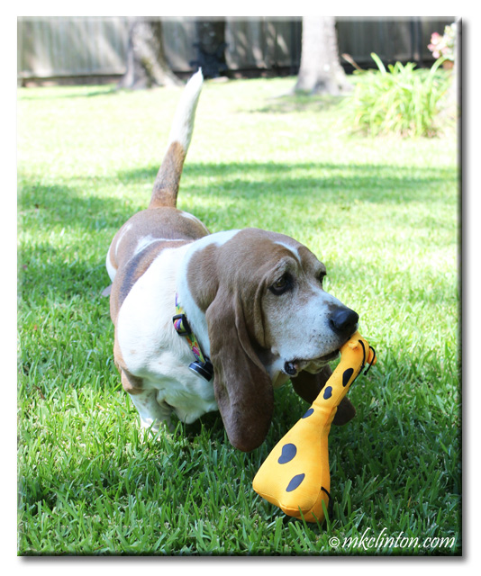 Bentley Basset with BeCo's George the Giraffe in his mouth.