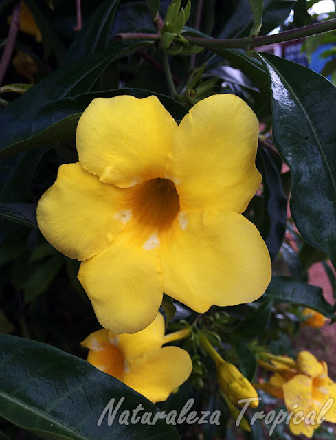 Otra foto de las flores de Allamanda cathartica, flor de Mantequilla o Trompeta de Oro