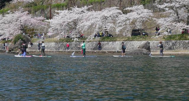海津大崎の桜とスタンドアップパドルでの花見